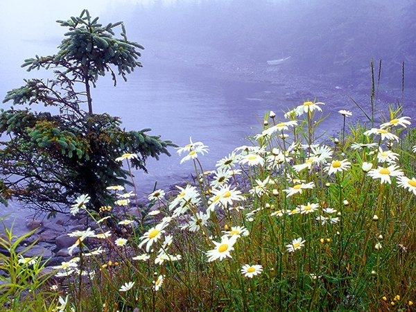 Foto Friday - daisies and evergreens on the coast in a fog