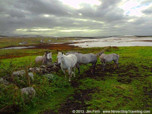 Connemara horses, Ireland
