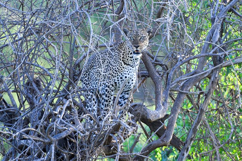 Kenya-Leopard-Samburu National Reserve-DSC_1075---xxx