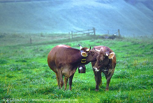 Cows, Alpine pasture, Switzerland