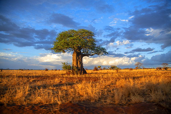 Foto Friday - a large tree on a plain at sunset