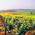 vineyard-75