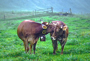 cows in a pasture in Switzerland