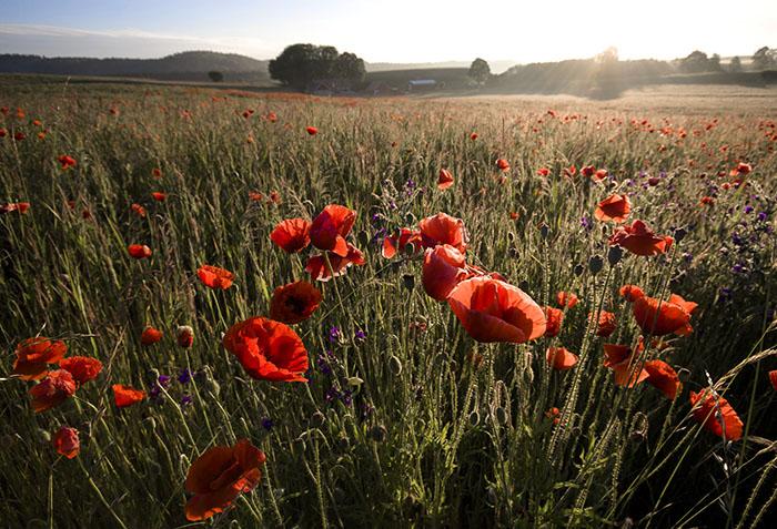 poppies in a field top 10 sweden