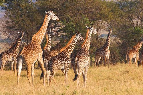 Alex Walker's Serengeti Serian