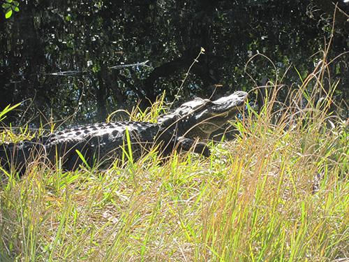 -IMG_2261-alligator in Floridas Everglades