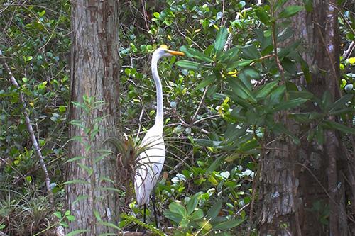 egret in Floridas Everglades