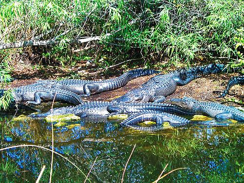 Alligator Group In Floridas Everglades