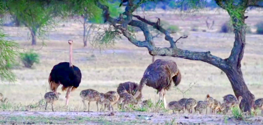 ostrich and chicks in Tanzania