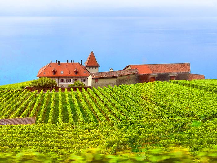 vineyards on a hillside in the Lavaux in Switzerland