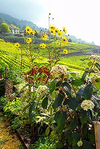 Flowers in a vineyard in the Lavaux in Switzerland