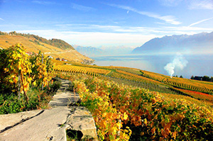vineyards in autumn in the Lavaux in Switzerland