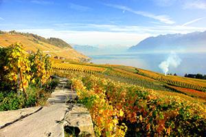 vineyards in autumn in the Lavaux in Switzerland