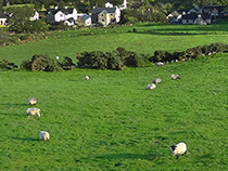Sheep grazing near Glendun in Ireland