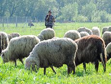 a shepherd standing by his flock of sheep in Romania