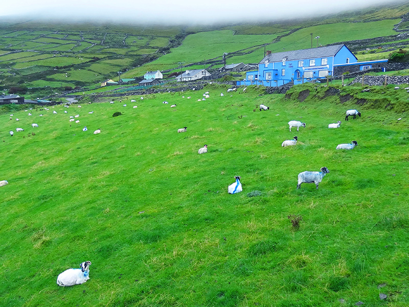 sheep grazing by a blue house -Hotels in Dingle - Killarney