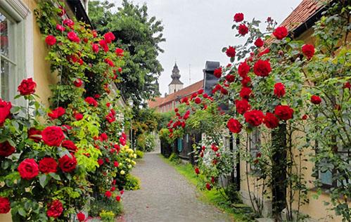 roses along a city lane in Sweden