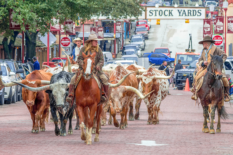 cowboys driving cattle on the Chisholm Trail in Texas