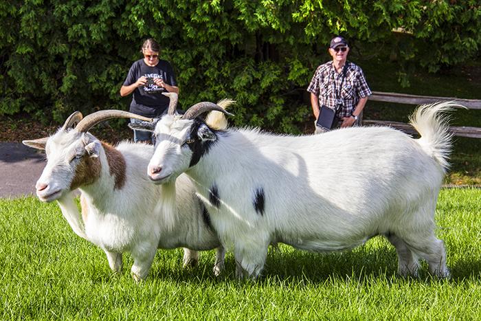 people watching goats in Door County, Wisconsin