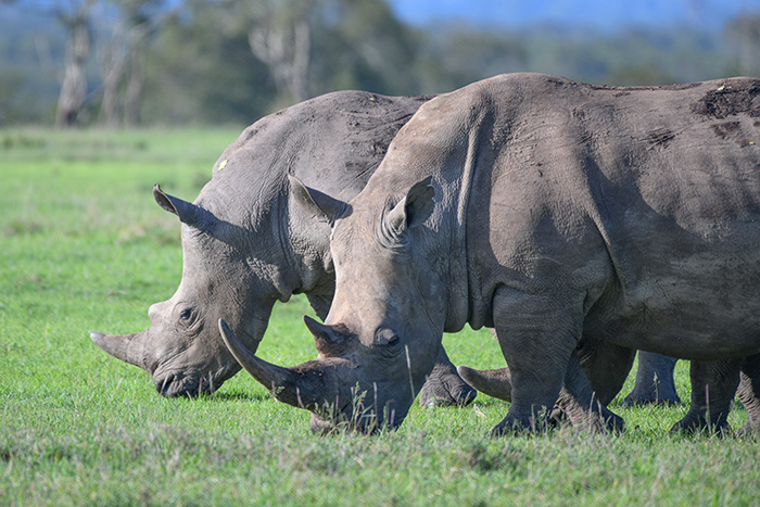 Rhinoceroses seen grazing on safari in kenya