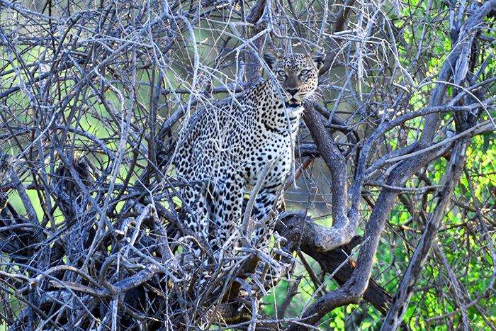 A leopard seen on safari in kenya
