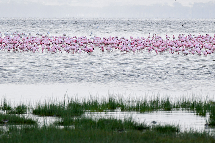 Pink flamingos on safari in kenya