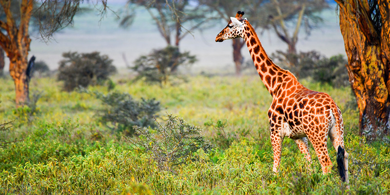 a giraffe seen on safari in kenya