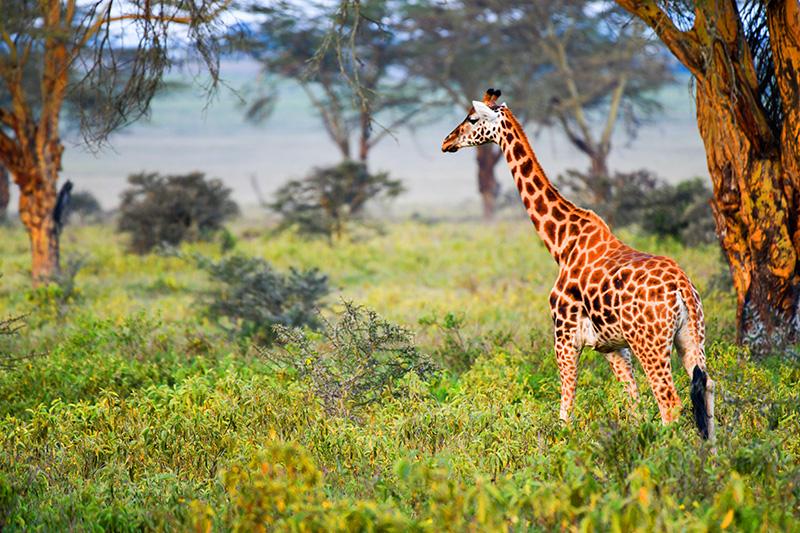 a giraffe seen on safari in kenya
