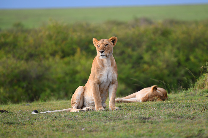 a lioness seen on safari in kenya