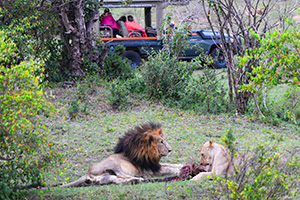 lions with kill on safari in kenya