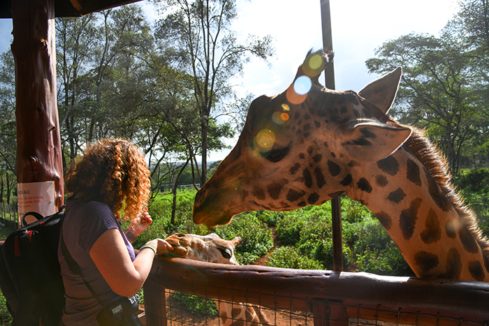 woman feeding giraffe on safari in kenya