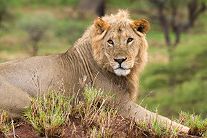 a male lion in Tanzania