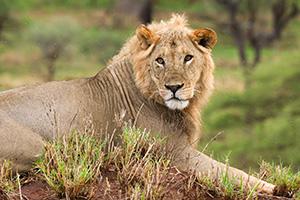 a male lion in Tanzania