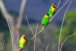 colorful birds in a tree in Tanzania
