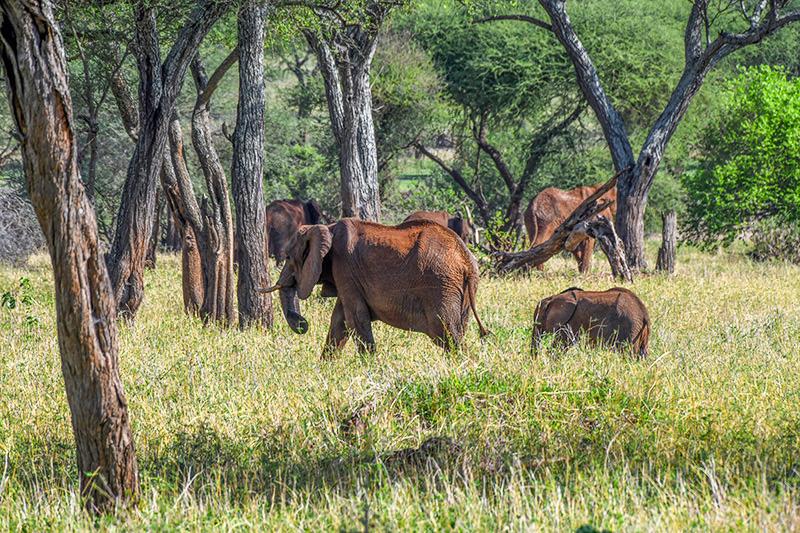 elephants in a park in Tanzania