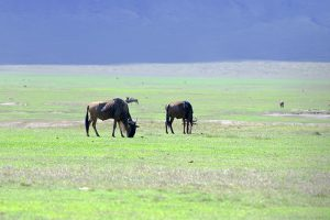wildebeest grazing in Tanzania