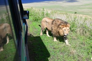 a lion walking by a car in Tanzania