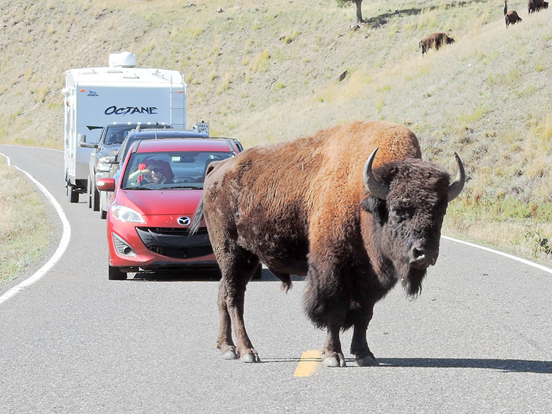 a bison seen on a Yellowstone family vacation