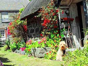 dog in a garen in Cornwall